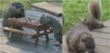 Marmota e esquilo são flagrados apreciando juntos refeição em mesa de piquenique