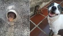 Nina: a cadela pinscher que ganhou fama de 'fofoqueira' por ficar espionando os vizinhos através de um cano