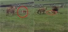 Na Tanzânia, cachorro tenta avançar em casal de leões e felinos evitam confronto - vídeo