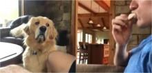 Golden retriever faz cara de 'pidão' hilária para dono que comia biscoito sozinho e vídeo viraliza