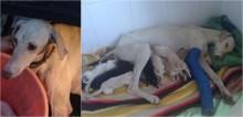 Cadela desnutrida andava quilômetros com a pata fraturada em busca de alimento para seus 10 filhotes