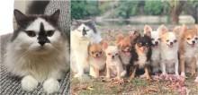 Grupo de chihuahuas que tem gato como líder conquista a internet; confira fotos