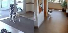 Vídeo: Cães pit bulls fogem de casa e resolvem passear em hospital na Pensilvânia, nos Estados Unidos