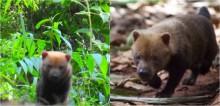 Ameaçados de extinção, cachorros-vinagres são vistos pela primeira vez no Rio Grande do Sul