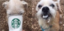 Para promover adoção, cães de abrigo são levados ao Starbucks para tomar bebida adaptada: o 'cãopuccino'
