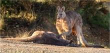 Foto de canguru lamentando a morte de sua companheira após atropelamento comove web