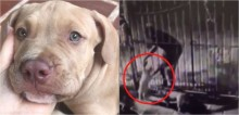 Ladrão é flagrado roubando filhote de pit bull através de grade de portão