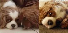 Profundamente triste após perder irmão canino, cachorro falece três semanas depois
