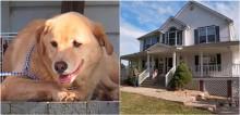 Cadela labradora foge e caminha mais de 91 km para visitar antiga casa da família