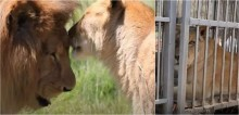Vivendo 8 anos em jaulas pequenas de circo, leões e tigres são resgatados e levados para santuário; vídeo