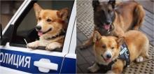 Cachorro corgi se aposenta após atuar brilhantes 7 anos como cão policial na Rússia