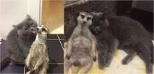 Dupla que conquistou a internet: suricato e gato são melhores amigos desde filhotes e adoram ficar juntinhos