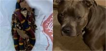 Tutora leva susto imenso ao flagrar seu cachorro pit bull segurando cobra venenosa na boca