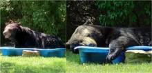Vídeo: Em dia extremamente quente, urso preto encontra piscina infantil, se refresca e até tira soneca