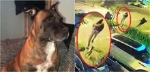 Destemida, cadela impede 4 ladrões armados de invadir residência e os persegue até a fuga; vídeo