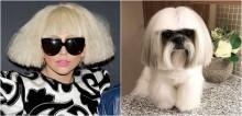 Cão shih-tzu com chanel parecido com Lady Gaga ganha milhares de seguidores no Instagram