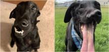Labrador com fenda lábio-palatina passa por cirurgia e recupera qualidade de vida
