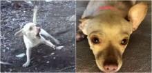 Cachorra chihuahua que tinha pavor de humanos passa por incrível processo de ressocialização