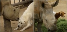 Rinoceronte resgatado faz amizade com cachorro e ovelha de santuário animal; vídeo