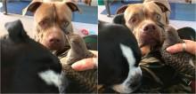 Pit bull pega delicadamente passarinho caído e o leva até colo de dona em busca de ajuda