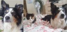 Cadela acolhe gatinha como se fosse sua mãe e a segue por onde quer que ela vá