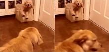 Golden retriever ganha cachorro de pelúcia e não consegue disfarçar o quanto desaprovou o presente - vídeo