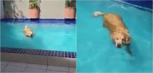 Em vídeo hilário, Golden Retriever Arthur é flagrado na piscina; confira
