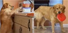 Cão golden retriever é flagrado roubando pote de comida e se desculpa com expressão de arrependimento muito fofa