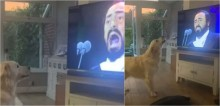 Sensação na web: Hugo, o cão golden retriever que adora escutar as óperas de Luciano Pavarotti - vídeo