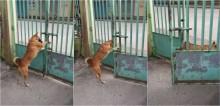 Vídeo: Cansado de isolamento social, cachorro abre portão de casa e sai passear sozinho