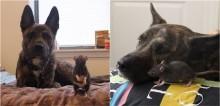 Cachorro pastor holandês elege rato seu melhor amigo e ambos são inseparáveis