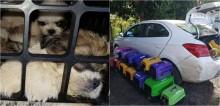Homem é flagrado com mais de 60 filhotes de shih-tzu em porta-malas de carro para comercializar no nordeste do país