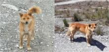 """Espécie rara de cachorro """"cantor"""" da Nova Guiné é visto novamente na natureza após 50 anos"""