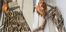 Golden retriever vira 'acumulador' de gravetos e se orgulha ao mostrar coleção para pai: 'É o hobbie dele'