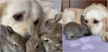 Golden acolhe filhotes de coelho recém-nascidos e agora eles pensam que o cão é sua mãe; confira