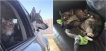 Cadela husky vai com família até abrigo para escolher novo irmão e surpreende seus humanos ao escolher gatinho