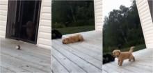 Filhote golden retriever é filmado pegando impulso desnecessário para atravessar porta e viraliza no Twitter