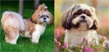 6 cuidados para manter seu cachorro shih-tzu saudável e feliz