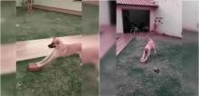 Cachorro se diverte brincando com tijolo e vídeo viraliza; confira