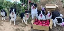 Cães vão a pomar ajudar donos colher frutas, não conseguem se segurar e fotos viralizam