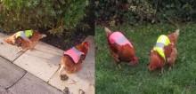 Homem compra coletes neon para galinhas fujonas que tentavam escapulir de quintal