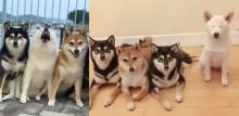 Em série de fotos adoráveis, cadela da raça shiba inu 'estraga' fotografias com seus irmãos