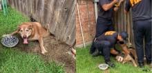 Em dia de folga, cão auxiliar de bombeiros fica entalado embaixo de cerca após cavar túnel