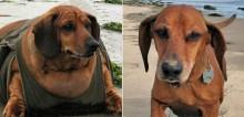 Veja 20 mudanças radicais de cães obesos que perderam peso