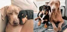Cão da raça Weimaraner supera ansiedade debilitante ao ganhar cão terapeuta: um mini dachshund