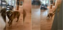 Golden retriever tem a melhor reação ao ver sua refeição e começa a dançar lindamente