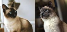 16 fatos sobre gatos siameses que farão você se apaixonar e querer ter um (ou mais)