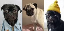Cãozinho Pug: curiosidades, comportamento e cuidados necessários para quem deseja ter um