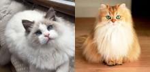 Conheça 30 raças distintas de gatos e as suas origens
