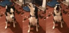 Após destruir cama e fazer a maior bagunça, husky siberiano retruca a dona e vídeo faz sucesso na web